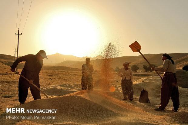 برداشت گندم در اسدآباد به انتها رسید